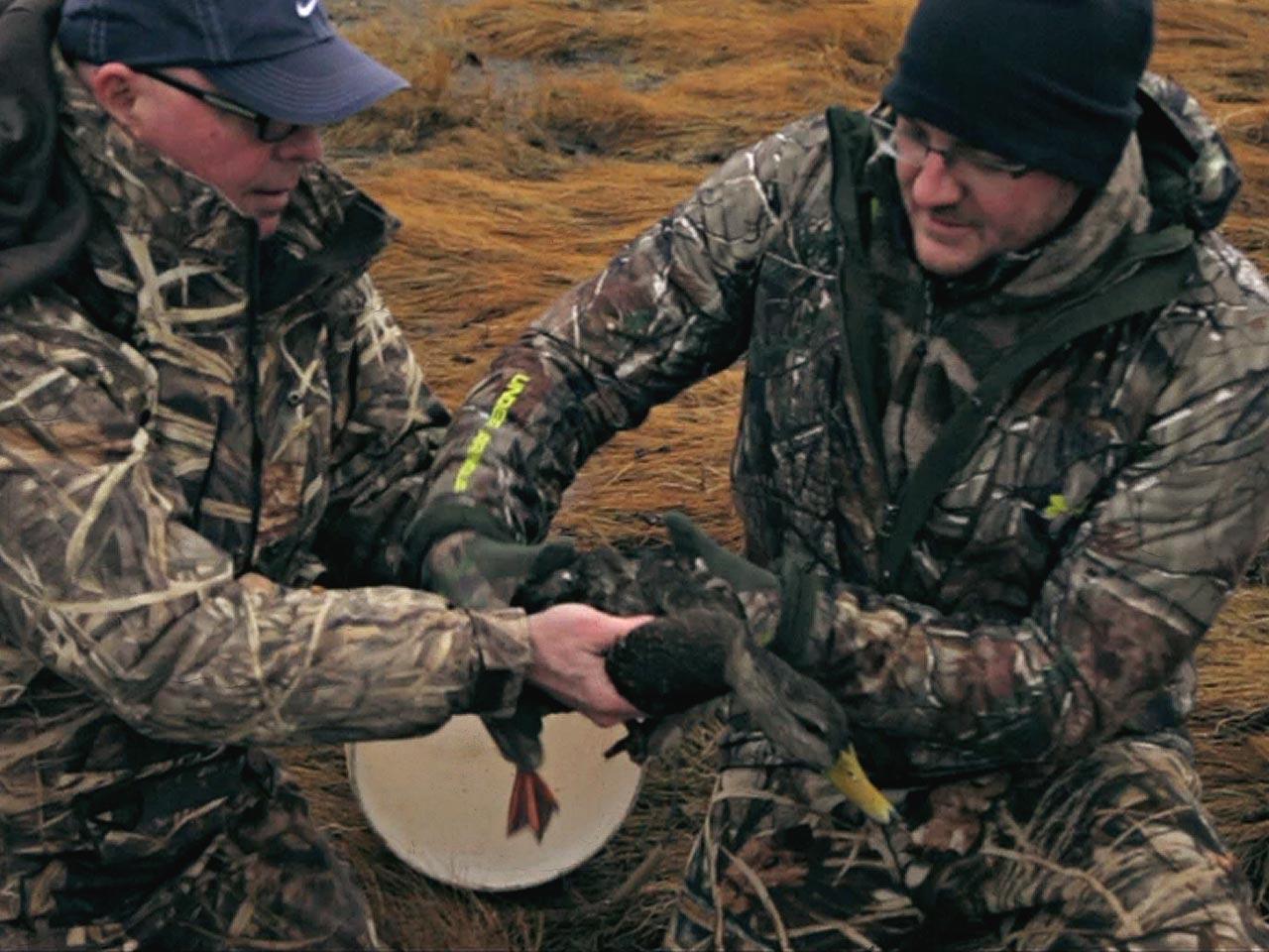 duck-banding