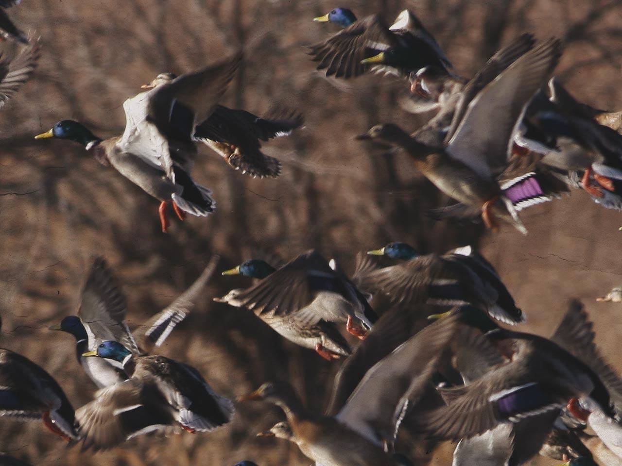 mallard-flock