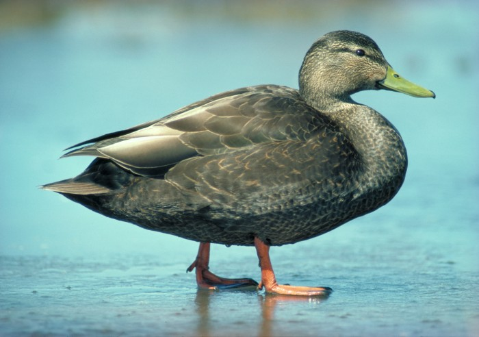 American black duck standing on ice