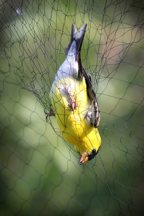 A captured male American goldfinch awaits retrieval