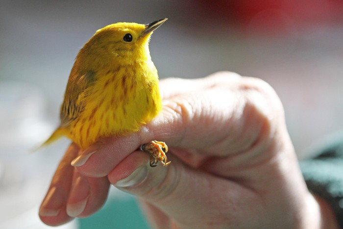 Held in the 'photographer pose', a male yellow warbler shows his good side.
