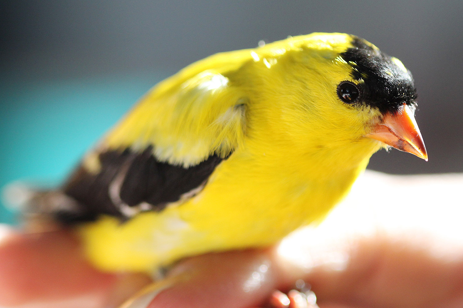 Untangled from the net, the goldfinch is ready for the banding process.