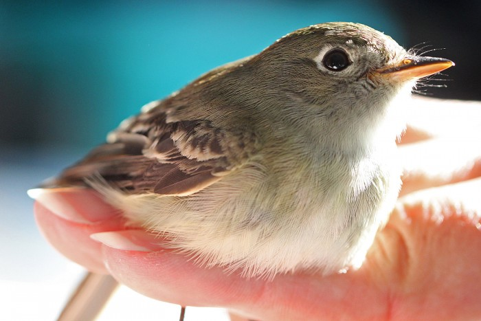 A least flycatcher remains calm, perched on a bander's hand.