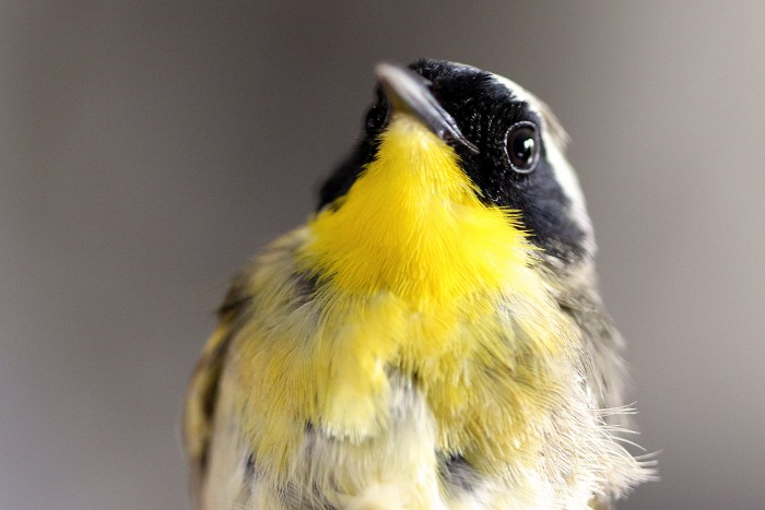 A male common yellowthroat shows off its namesake.