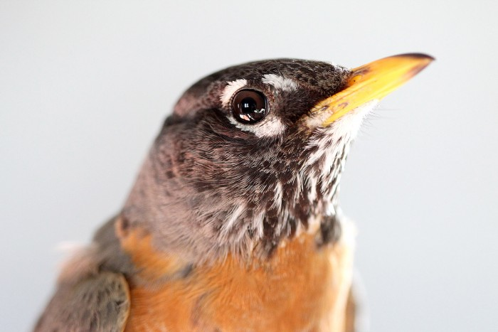 Light from the cabin window is reflected in the eye of an American robin.