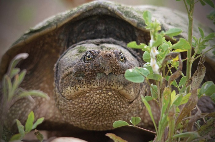 A snapping turtle, snapped by Eric Bancroft near Kitchener, Ont., holds your gaze. ©Eric Bancroft