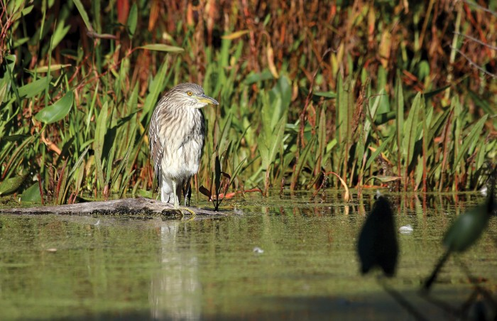 Cathy Simard captured a black-crowned night heron at water's edge near Gatineau, Que. ©Cathy Simard