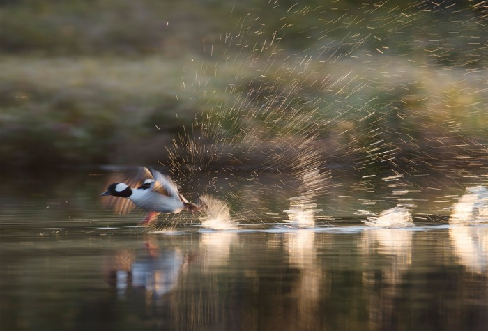 Kathleen Peterson ducked down to photograph a bufflehead taking flight at Road Lake, Sask. ©Kathleen Peterson